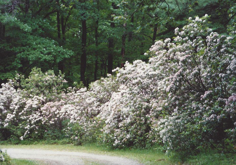 Mountain Trail - Laurel